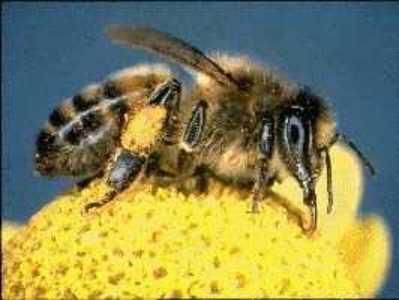 Honey_bee_3